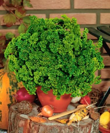 Parsley 'MOSS CURLED':