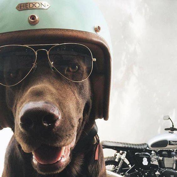 #caferacer dog #helmet discover #motomood: