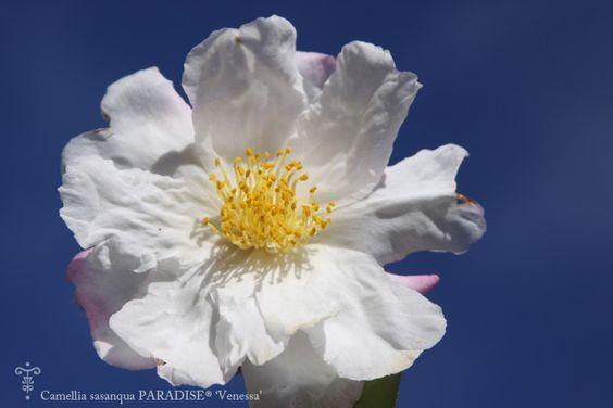 Camellia sasanqua PARADISE 'Venessa' - grande fleur THOBY Pepiniere Botanique à Gaujacq