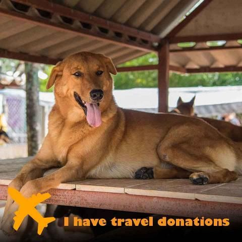 Adopt Ginger Soi Dog Foundation Dogs Adoption Large Dogs