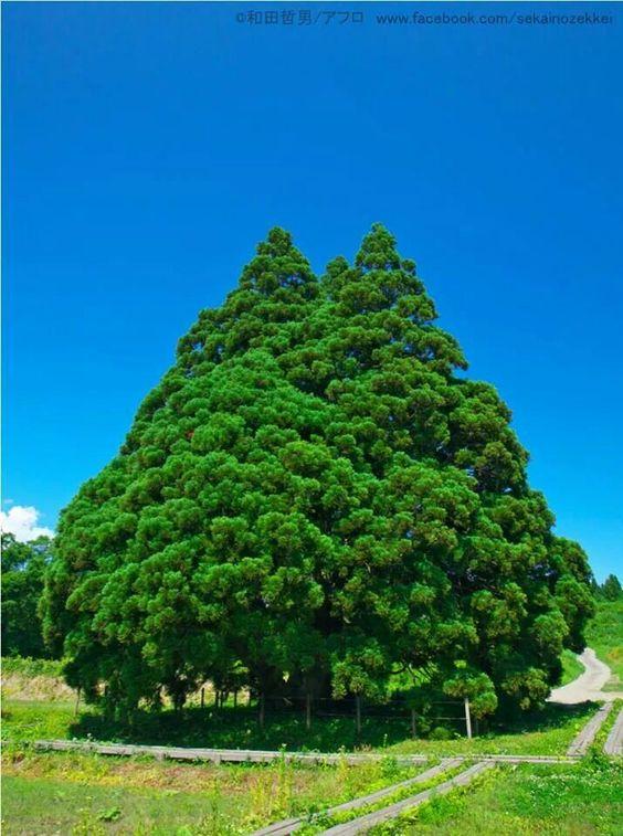 鮭川 トトロの木