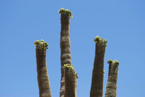 Phoenix, AZ has plenty of cactus trees, and the truth is that there is a mixed consensus even among Arizona's natives as to whether or not cactus tree's are beautiful or not. What do you think?