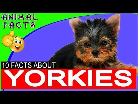 Best Toy Breed Ever Yorkshire Terrier Yorkie Fun Facts Dogs 101 Yorkie Dog Animal Facts Yorkshire Terrier Dog Yorkshire Terrier Toy Dog Breeds