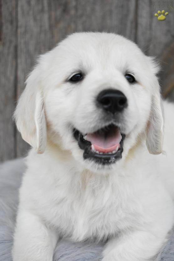 Daisy Golden Retriever English Cream Puppy For Sale In Apple