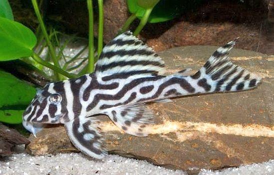 Zebra Plecostomus Hypancistrus Zebra L173 Tropical Fish Zebra Beautiful Fish
