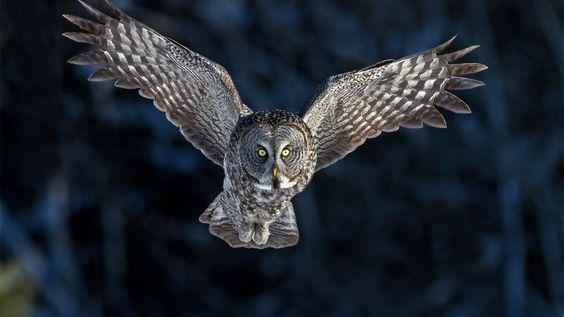 native aboriginal owl - Google Search