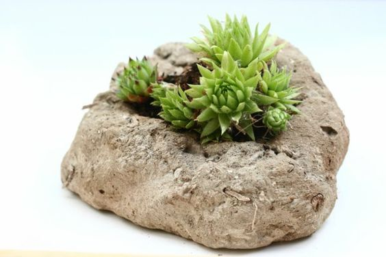 schöne dekoideen hauswurz attraktive pflanzen                              …
