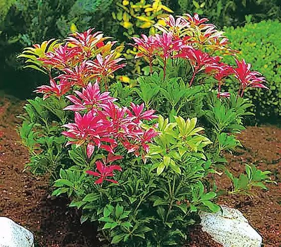 Pin Von Kathrin Wagner Auf Pflanzen: Schattenglöckchen, Japanische Lavendelheide 'Forest Flame