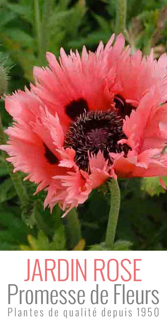 Pavot d orient papaver orientale clochard ps d and roses for Fleurs du printemps
