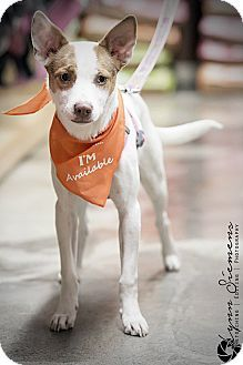 Pitt Meadows, BC - Chihuahua Mix. Meet Piper, a dog for adoption. http://www.adoptapet.com/pet/12325266-pitt-meadows-british-columbia-chihuahua-mix