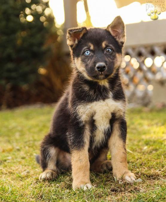 Badger German Shepherd Husky Puppy For Sale In Howard Pa Lancaster Puppies German Shepherd Husky Puppies Puppies For Sale German Shepherd Husky
