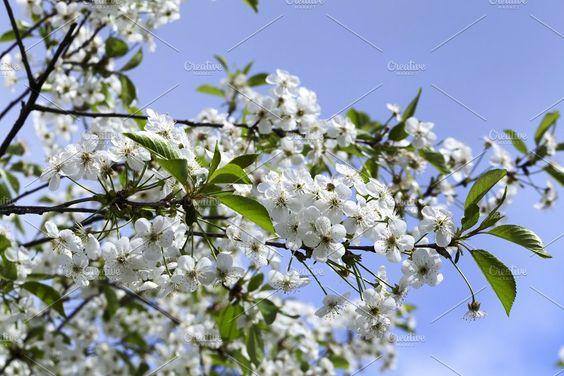 White Cherry White Cherries White Cherry Blossom Fruit Garden
