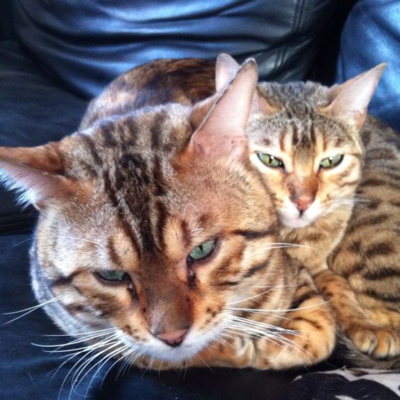 My 2 bengals mr jinxs and tibby