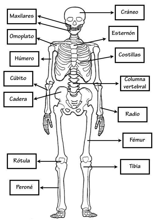 Conocimiento Medio02 Cuerpo Humano Para Ninos Huesos Del Cuerpo Humano Actividades Del Cuerpo Humano