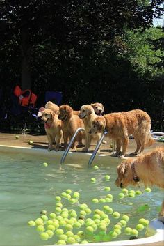 The ultimate Golden Retriever pool party