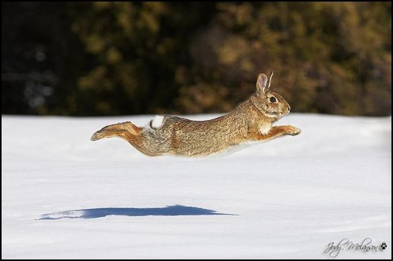 by Jody Melanson [now, THAT's a cottontail!]