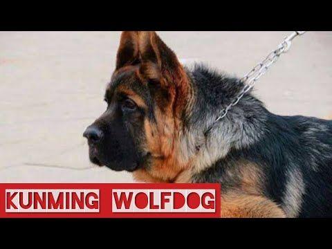 Kunming Wolfdog The Chinese German Shepherds Chinese Wolfdog Kunming Dog Youtube Wolf Dog Dogs Military Dogs
