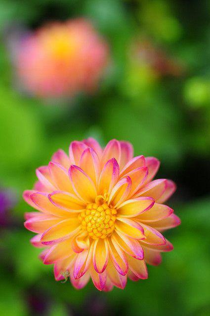 Dahlias | flower #72 | ah's cafe | Flickr