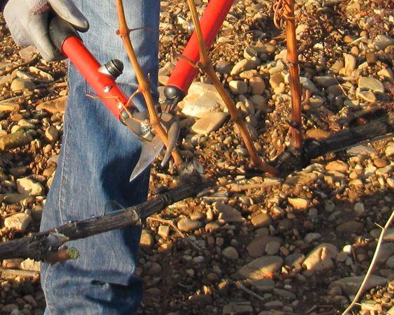 VitiViniCultura.net: Arte y técnica de cultivar vid y elaborar vino