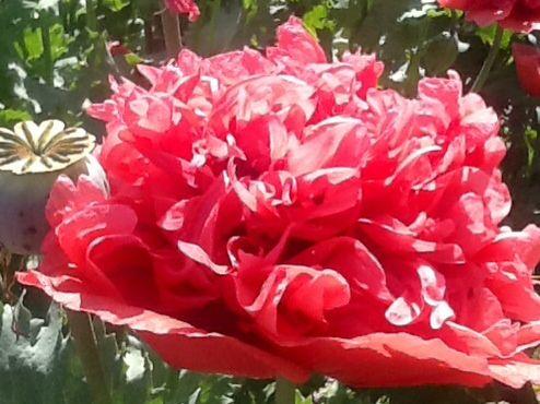 Poppy in my garden.