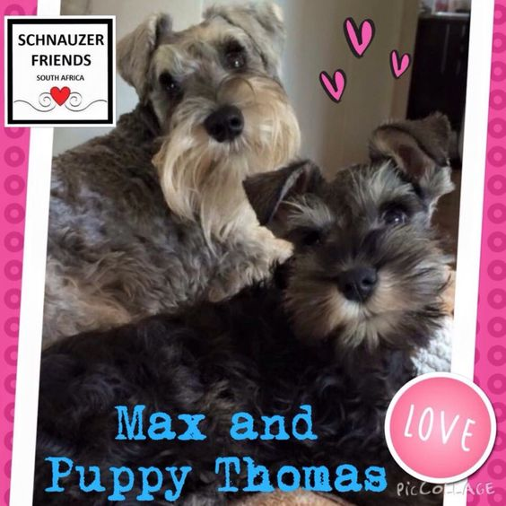 "FUN: Blast from the past. Big brother Max with little brother Thomas a year ago when Thomas was only 12 weeks old! OMG was he a cutie! #schnauzerfun #schnauzer www.schnauzerfriendsza.com SMS ""dog"" to 40733 and donate R20 to Woodrock Animal Rescue."