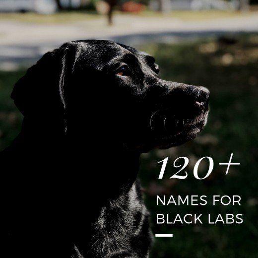 120 Best Dog Names For Black Labrador Retrievers Labrador Retriever Black Labrador Retriever Black Dog Names