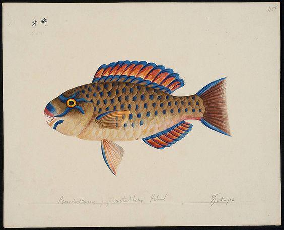 Pseudoscarus pyrrostethus Blkr [= Scarus ghobban Forsskål, 1775] by peacay, via Flickr