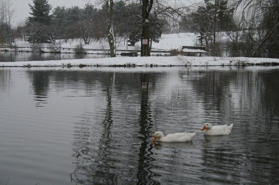 Snowy morning on campus (at Duck Pond). #hokies #virginiatech #snow