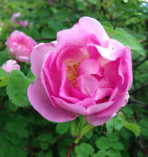"""Rosa pimpinellifolia """"Poppius"""""""
