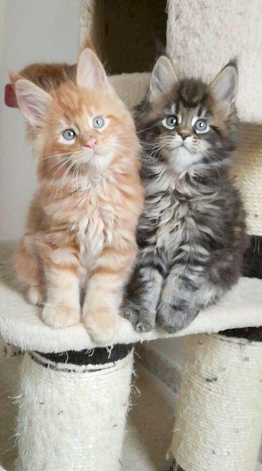 Shared Kittens For Sale Near Me Craigslist Nice 猫 メインクーン 可愛すぎる動物 美しい猫