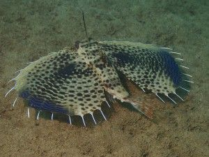 The wings of the flying gurnard may not soar high above the mountains, but they serve quite the aesthetic purpose! http://aquaviews.net/explore-the-blue/fish-wings-fly/