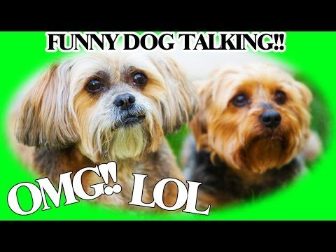 funny pet videos pets teeth puppys videos lhasa watches funny dogs pet