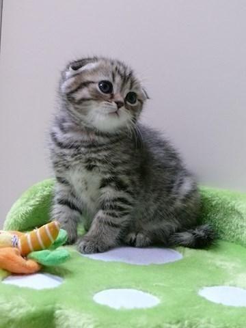 Scottish Fold Kitten | Cattery Dutchfold | The Netherlands | http://www.kittentekoop.nl/images/com_adsmanager/ads/14035b.jpg