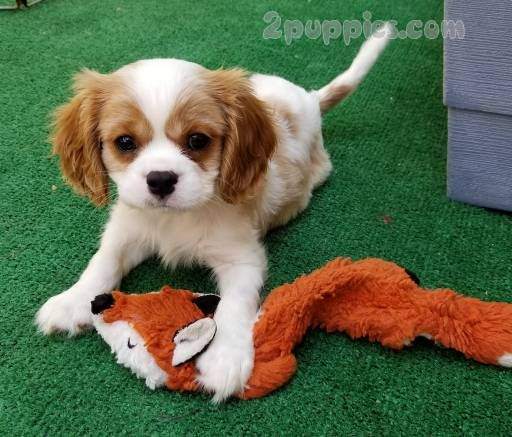 Find Your Dream Puppy Of The Right Dog Breed At King Charles