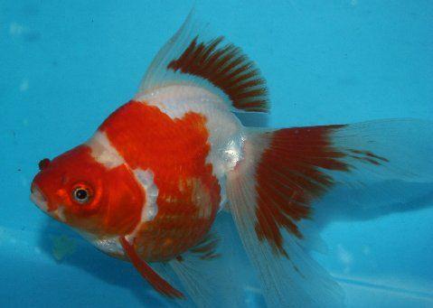 Goldfish For Sale Ryukin Goldfish For Sale Goldfish For Sale Ryukin Goldfish Goldfish