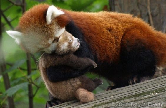 A red panda comforting her baby.