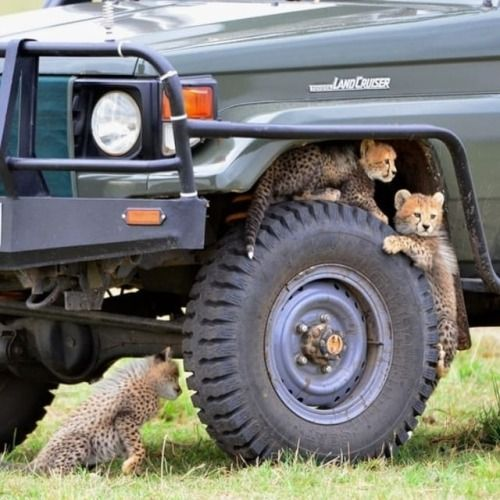 Geographicwild Photography By C Jim Varley Cheetah Cubs