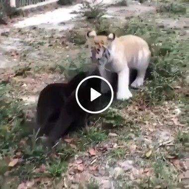 Filhote de gato protege seu território