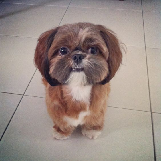 shih tzu teeth click visit site and check out best quot shih tzu quot t shirts 2998
