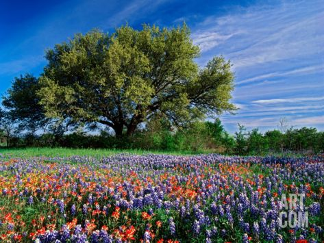 Live Oak, Paintbrush, and Bluebonnets in Texas Hill Country, USA Photographic Print by Adam Jones at Art.com
