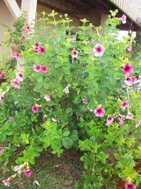 Allamanda cathartica 'Cherries Jubilee'
