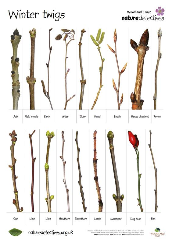 Know your UK Winter Twigs