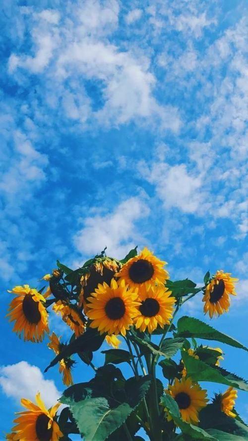 Fondos De Pantalla Para Celular In 2020 Sunflower Wallpaper Sunflower Iphone Wallpaper Wallpaper Iphone Christmas