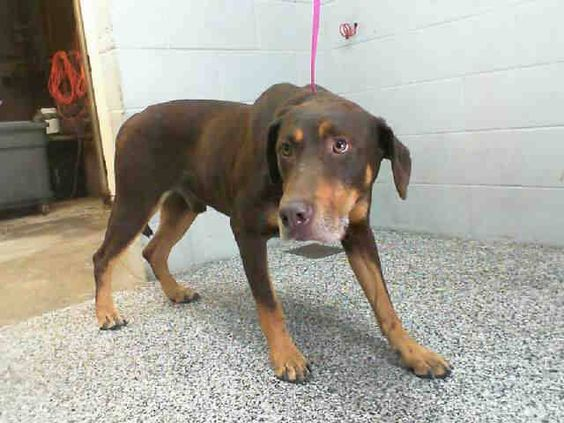 URGENT!!! ~ GERRY - ID #A474366 (AVAIL NOW~MUST EXIT BY 10/21)  SURRENDERED HERE BY HIS PEOPLE!  My name is Gerry and I am an unaltered male, brown Doberman Pinscher mix.   Shelter staff think I am about 5 years old.   I have been at the shelter since Oct 14, 2014....     See More — with Jason Catlin, Cari NO Bsl Ennis, Elizabeth Longo, Milton Shields and Daniel Gray Nicholas at San Bernardino City Shelter - Phone: 909-384-1304, Address: 333 Chandler Pl., San Bernardino, CA 92408.