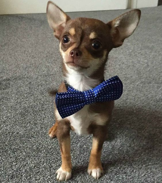 Cute Chihuahua Wearing Bow Tie Dogs Chihuahua Names