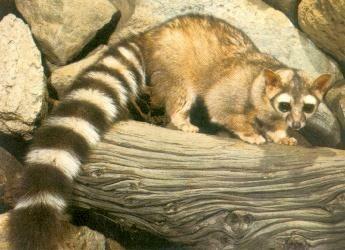 Ring Tailed Fox Utah