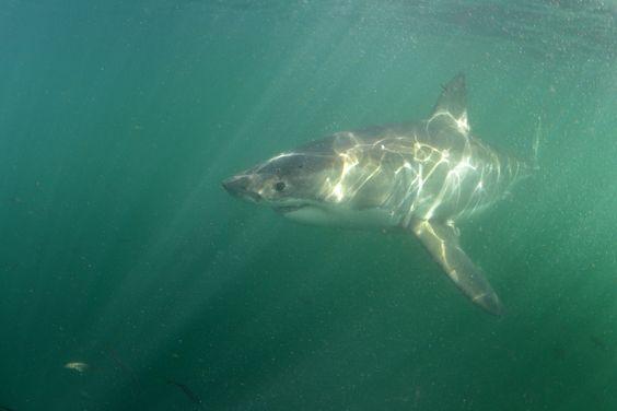 Requins de Méditerranée : une grande diversité méconnue