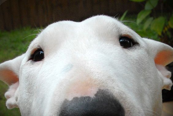 Bull Terriers make my heart happy. They remind me of sharks, which is weird because I hate sharks.