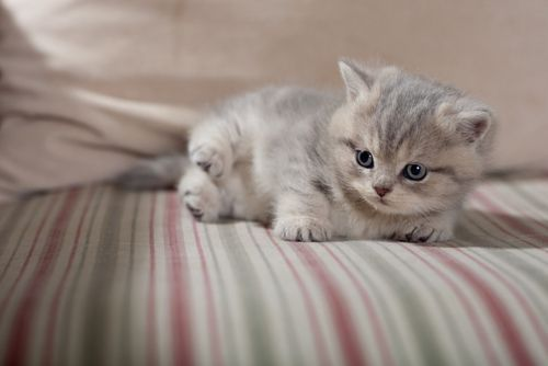 A grey and white kitten resting on its owner's bed.: