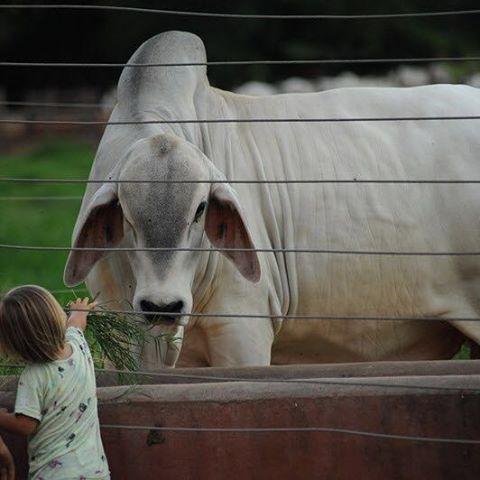 Docilidade. A gente vê por aqui!  Está aí uma característica essencial para a produção de bovinos. O bom temperamento deve ser preconizado na seleção não só para facilitar o manejo, mas também garantir carne e leite em quantidade e qualidade.  Foto: Rodolfo Ortenblad  #tabapua #zebu #abcz #gadoPO #pmgz #pecuariabrasileira #pecuária #docilidade #zebunoinstagram #temperamento